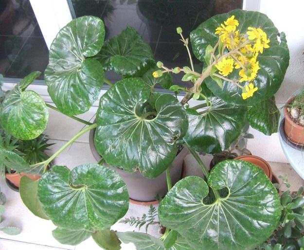 Farfugium japonicum (= Ligularia kaempferi) - Page 5 Dscf9098