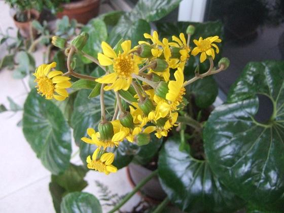 Farfugium japonicum (= Ligularia kaempferi) - Page 5 Dscf9099