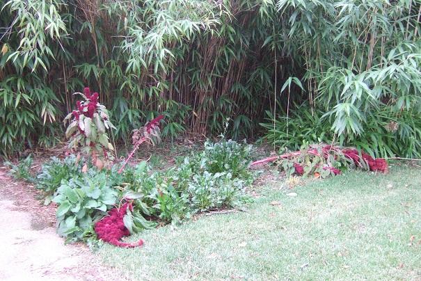 Amaranthus - les amarantes horticoles - Page 5 Dscf9122