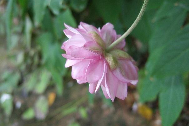 Anemone hupehensis - anémone de Chine ; Anemone hupehensis var. japonica - anémone du Japon Dscf9127