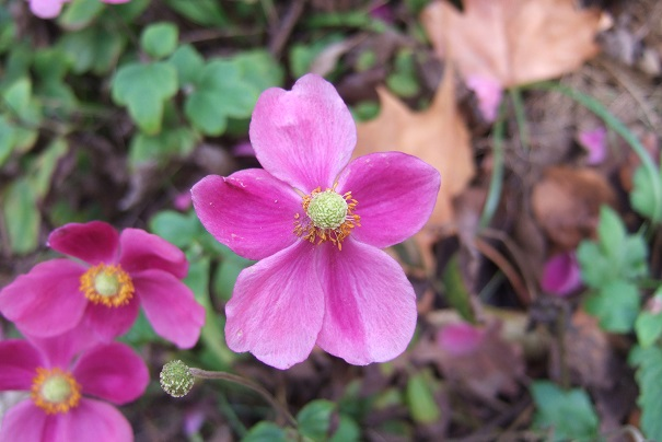 Anemone hupehensis - anémone de Chine ; Anemone hupehensis var. japonica - anémone du Japon Dscf9129