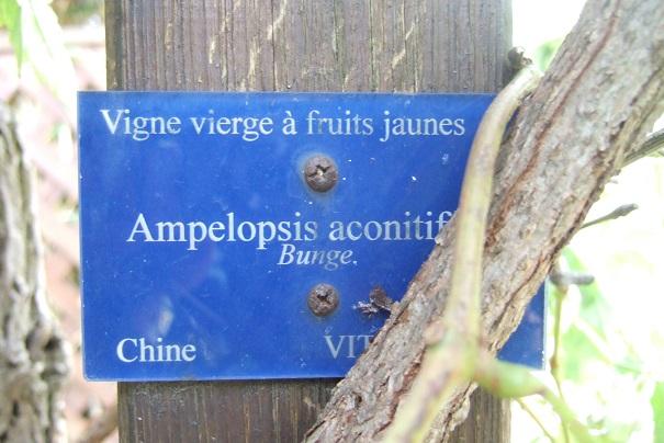 Ampelopsis aconitifolia Dscf9131