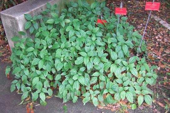 Pilea angulata subsp. petiolaris (= Pilea petiolaris) Dscf9152