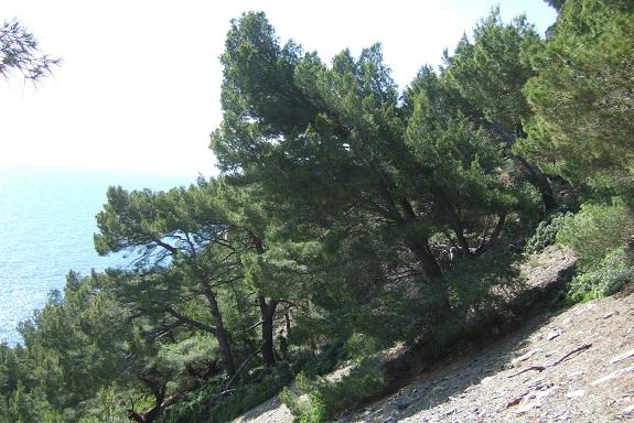 Pinus halepensis - pin d'Alep Dscf9174