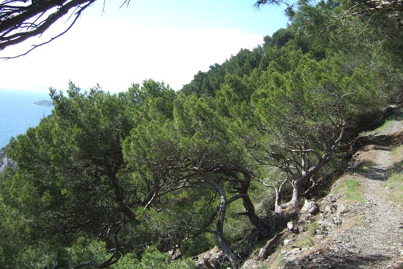Pinus halepensis - pin d'Alep Dscf9175