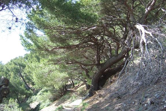 Pinus halepensis - pin d'Alep Dscf9176