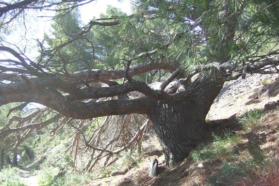 Pinus halepensis - pin d'Alep Dscf9177