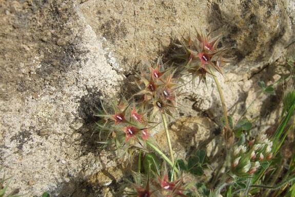 Trifolium stellatum - trèfle étoilé Dscf9185
