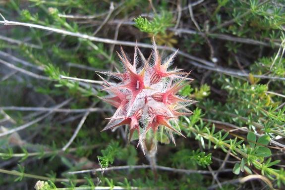 Trifolium stellatum - trèfle étoilé Dscf9186