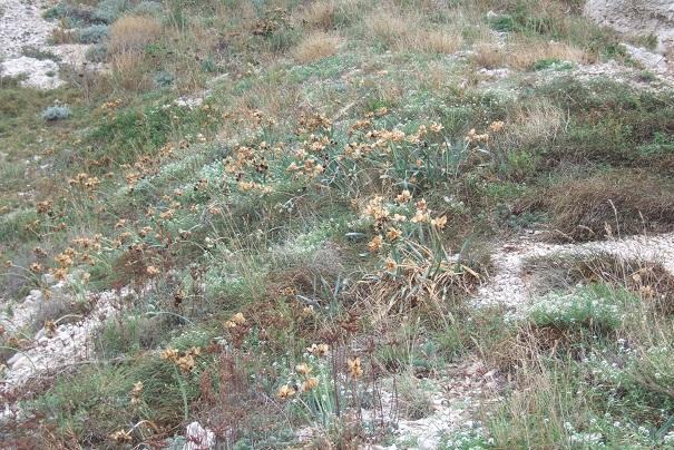 Pancratium maritimum - lis de mer, lis des sables  Dscf9214