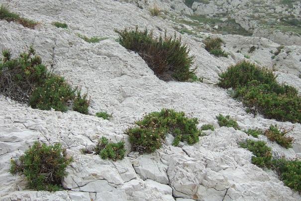 Limbarda crithmoides - inule fausse criste  Dscf9217