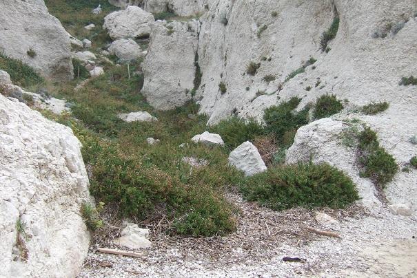 Limbarda crithmoides - inule fausse criste  Dscf9218