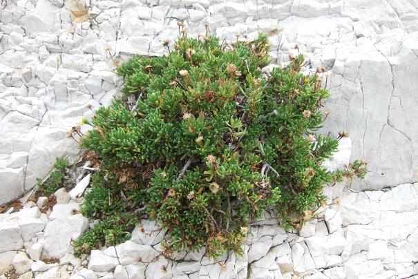 Limbarda crithmoides - inule fausse criste  Dscf9219