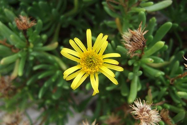 Limbarda crithmoides - inule fausse criste  Dscf9220