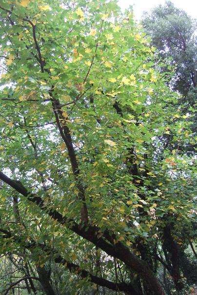 Acer opalus - érable à feuille d'obier Dscf9222