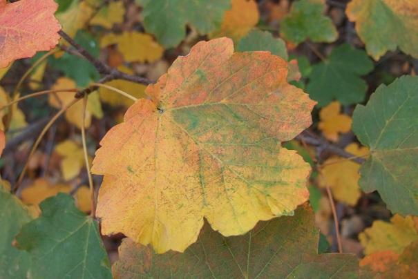 Acer opalus - érable à feuille d'obier Dscf9225