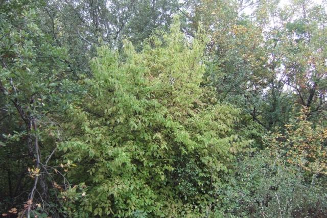 Cornus mas - cornouiller mâle Dscf9231