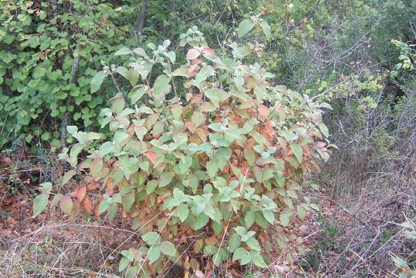 Viburnum lantana - viorne mancienne Dscf9235