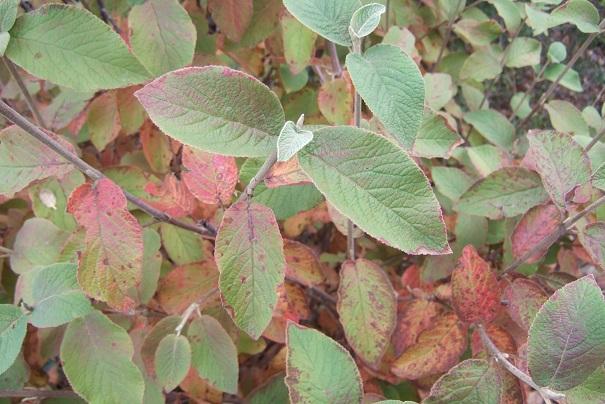 Viburnum lantana - viorne mancienne Dscf9236