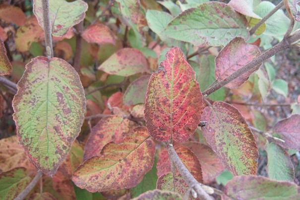 Viburnum lantana - viorne mancienne Dscf9237