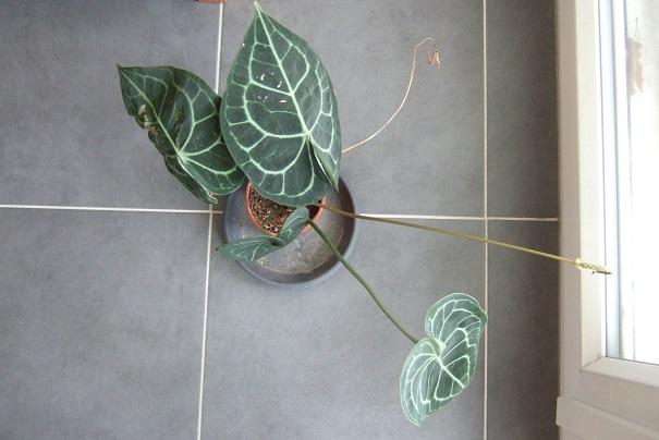 Anthurium clarinervium Dscf9315