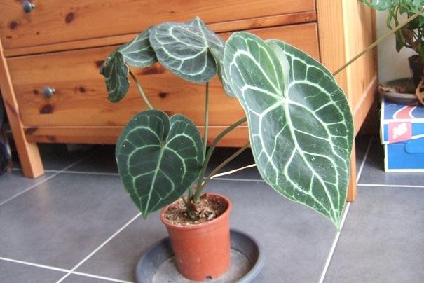 Anthurium clarinervium Dscf9316