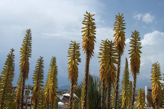 Aloe vera - Page 3 Dscf9331