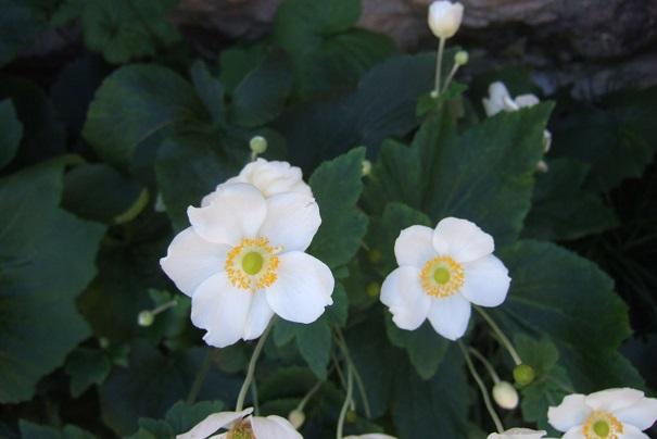 Anemone hupehensis - anémone de Chine ; Anemone hupehensis var. japonica - anémone du Japon - Page 2 Dscf9411