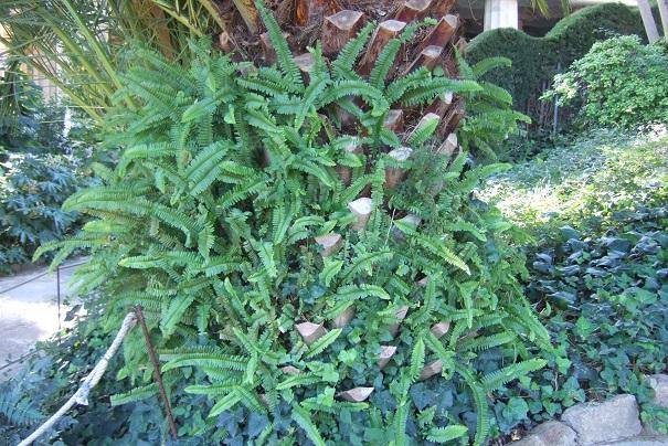 Nephrolepis cordifolia Dscf9418