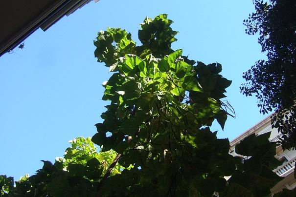 Catalpa bignonioides  Dscf9517