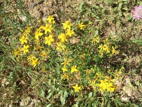 Hypericum perforatum - millepertuis perforé Dscf9560