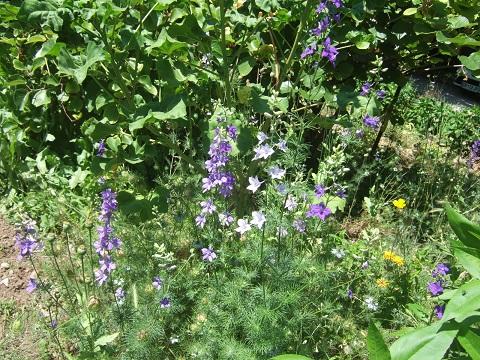 Consolida ajacis (= Delphinium ajacis) - dauphinelle cultivée - Page 2 Dscf9563