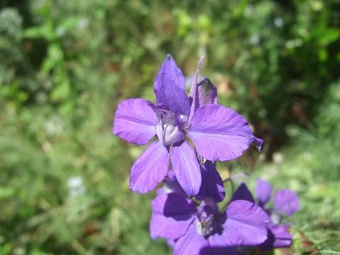 Consolida ajacis (= Delphinium ajacis) - dauphinelle cultivée - Page 2 Dscf9564