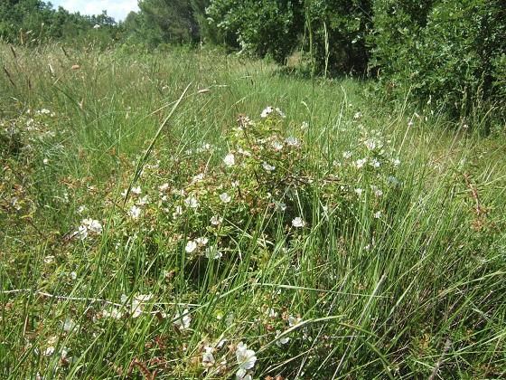 Rosa sempervirens - rosier toujours vert Dscf9568