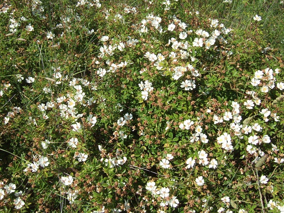 Rosa sempervirens - rosier toujours vert Dscf9569