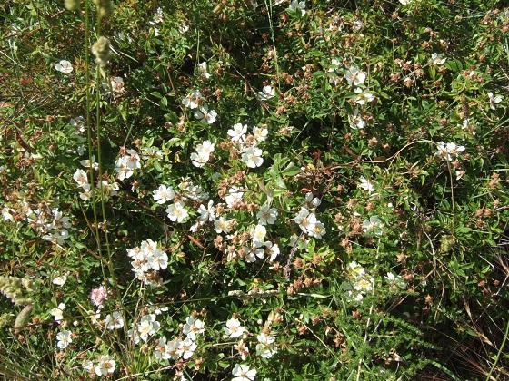 Rosa sempervirens - rosier toujours vert Dscf9570