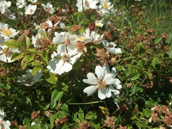 Rosa sempervirens - rosier toujours vert Dscf9571