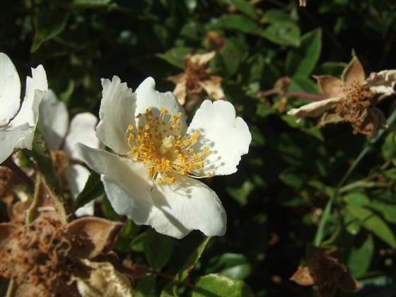 Rosa sempervirens - rosier toujours vert Dscf9572