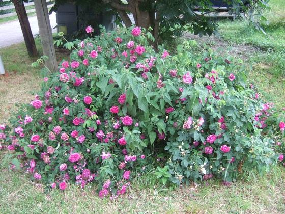 rosier 'Rose de Rescht' Dscf9626