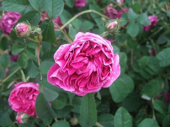 rosier 'Rose de Rescht' Dscf9627