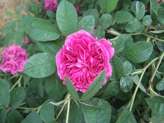 rosier 'Rose de Rescht' Dscf9628