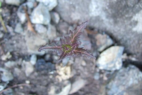 Canarina canariensis Dscf9710