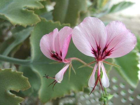 Pelargonium tetragonum - Page 2 Dscf9726