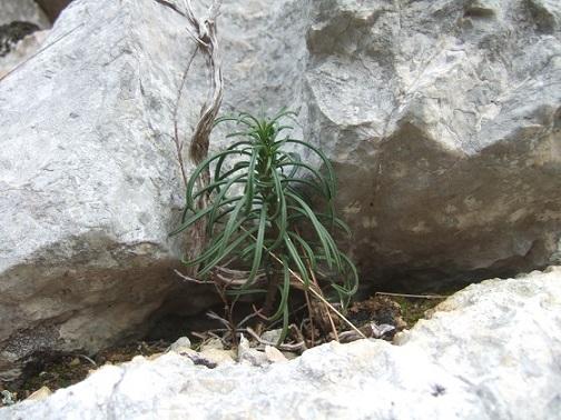 flore des vieux murs, rochers  et rocailles naturelles - Page 9 Dscf9735