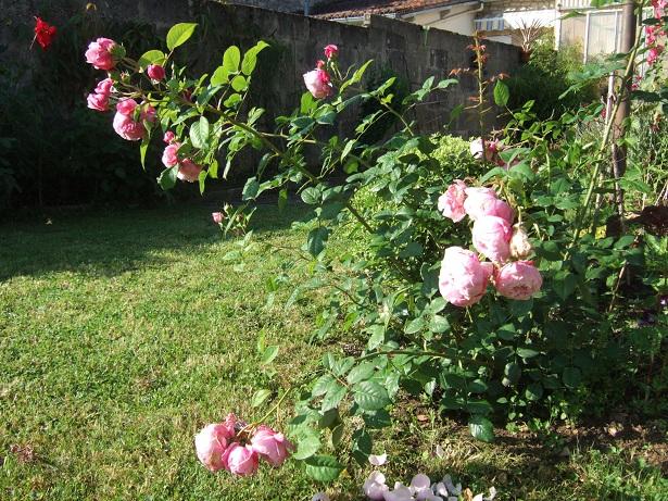 Les rosiers  parfumés Dscf9737