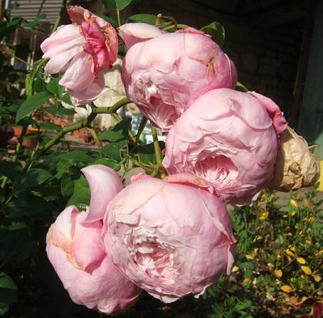 Les rosiers  parfumés Dscf9738