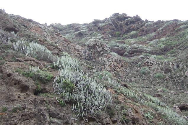 Euphorbia canariensis - euphorbe des Canaries Dscf9817