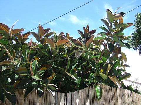 Ficus elastica - caoutchouc - Page 2 Dscf9836