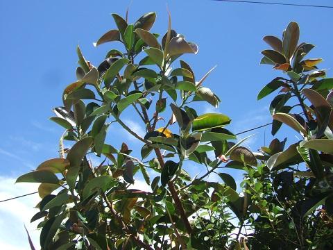 Ficus elastica - caoutchouc - Page 2 Dscf9837