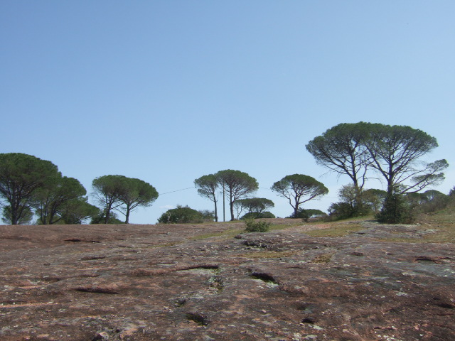 Pinus pinea - pin parasol - Page 3 Dscf9912